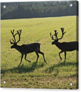 Reindeers On Swedish Fjeld Acrylic Print
