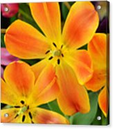 Relaxed Tulips Acrylic Print