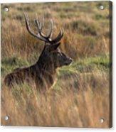 Relaxing Deer Acrylic Print