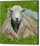 Relaxing In The Pasture Acrylic Print