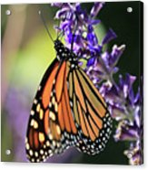 Relaxing Monarch Butterfly Acrylic Print