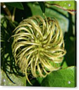 Remainder Of A Clematis Blossom Acrylic Print