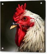 Renegade Rooster Acrylic Print