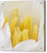 Reproductive Organs Of A Tulip Acrylic Print