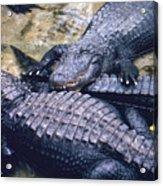 Reptilian Grin Acrylic Print