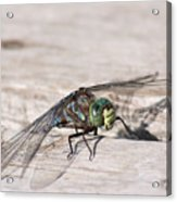 Rescued Dragonfly Acrylic Print