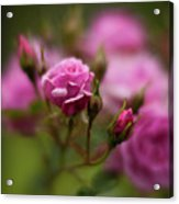 Resplendent Roses Acrylic Print