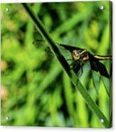 Resting Alert Dragonfly Acrylic Print