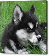 Resting Alusky Puppy Laying In Green Grass Acrylic Print