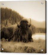 Resting Bison Acrylic Print