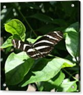 Resting - Black And White Butterfly Acrylic Print
