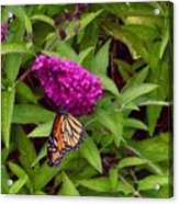 Resting Butterfly 1 Acrylic Print