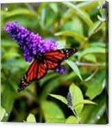 Resting Butterfly 2 Acrylic Print