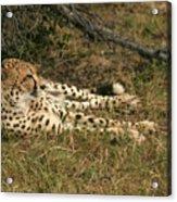 Resting Cheetah Acrylic Print