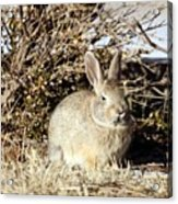 Resting Cottontail Acrylic Print