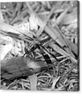 Resting Dragonfly Acrylic Print