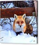 Resting Fox Acrylic Print