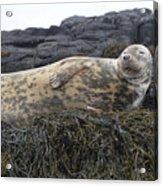 Resting Gray Seal On Seaweed Acrylic Print