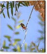 Resting Hummingbird Acrylic Print