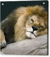 Resting Lion Acrylic Print