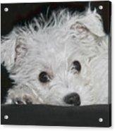 Resting Puppy Acrylic Print