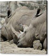 Resting Rhinos Acrylic Print