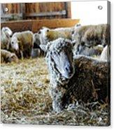 Resting Sheep Acrylic Print