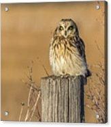 Resting Short Eared Owl Acrylic Print
