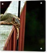 Resting Squirrel Acrylic Print by  Onyonet  Photo Studios