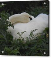 Resting Swan Acrylic Print