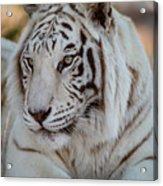 Resting Tiger Acrylic Print