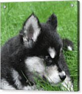 Resting Two Month Old Alusky Puppy Dog In Grass Acrylic Print