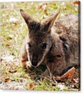 Resting Wallaby Acrylic Print