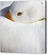 Resting White Goose  Acrylic Print