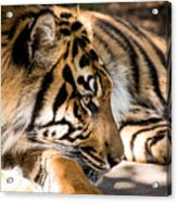 Resting Yet Watchful Tiger Acrylic Print