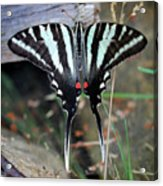 Resting Zebra Swallowtail Butterfly Square Acrylic Print