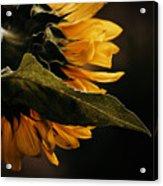 Reticent Sunflower Acrylic Print