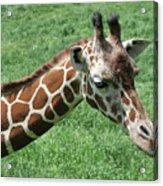 Reticulated Giraffe #3 Acrylic Print