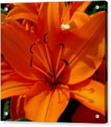 Retreating Orange Lilies Acrylic Print