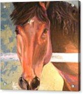 Reverie - Quarter Horse Acrylic Print