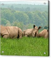 Rhino Heard Panarama Acrylic Print