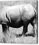 Rhino In The Grasses Acrylic Print