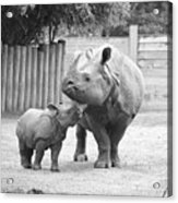 Rhino Mom And Baby Acrylic Print