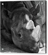 Rhino Nap Acrylic Print