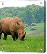 Rhino On The Hilltop Acrylic Print