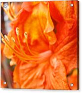 Rhodies Art Prints Orange Rhododendron Flowers Baslee Troutman Acrylic Print