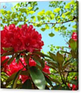 Rhodies Art Prints Red Rhododendron Floral Garden Landscape Baslee Acrylic Print