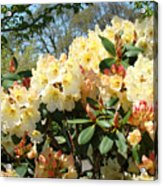 Rhodies Flowers Art Yellow Orange Rhododendrons Garden Acrylic Print