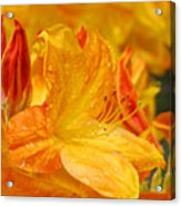 Rhodies Orange Yellow Rhododendrons Art Prints Canvas Baslee Troutman Acrylic Print