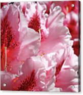 Rhodies Pink Fine Art Photography Rhododendrons Baslee Troutman Acrylic Print